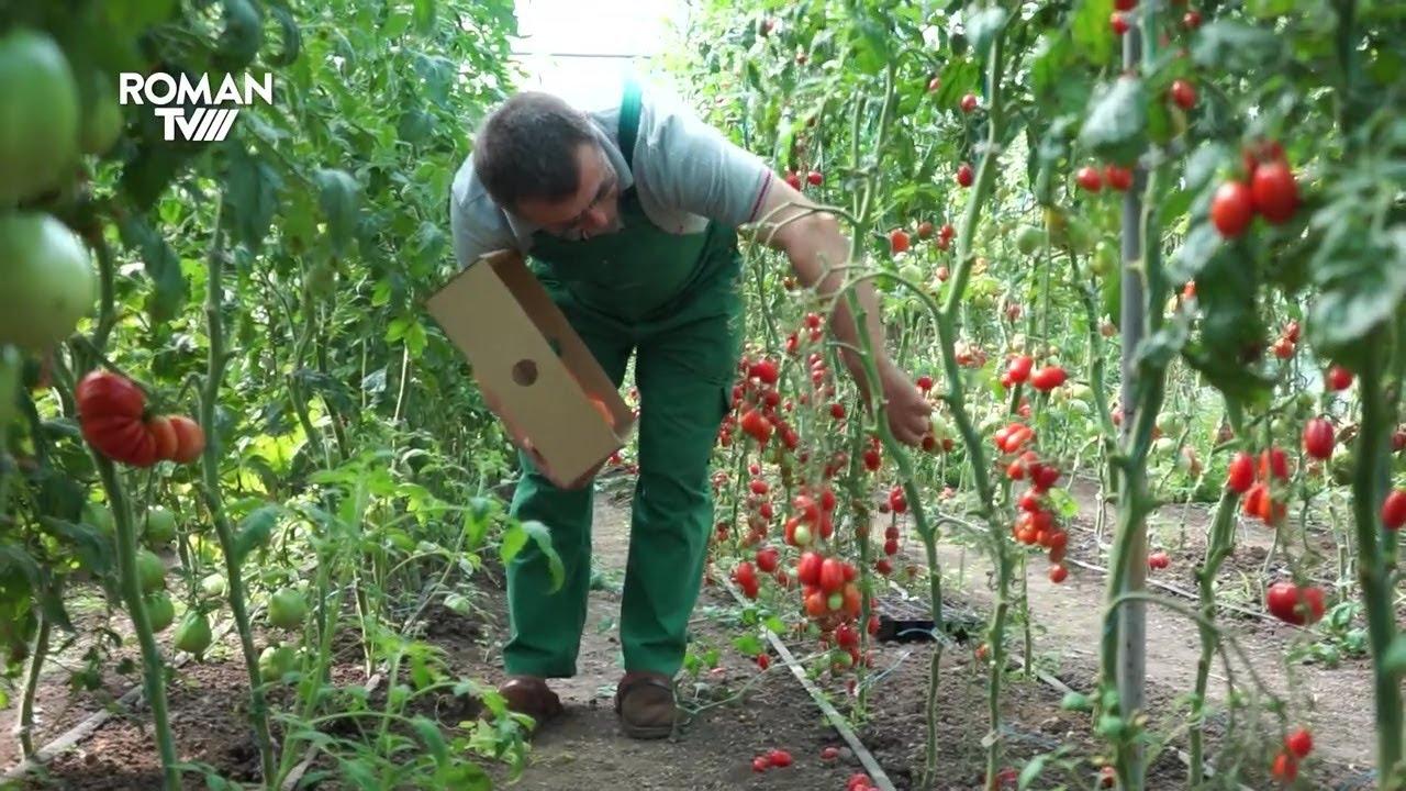 Tomatele romașcanului Neculai Gheorghiu, demne de adevărate expoziții